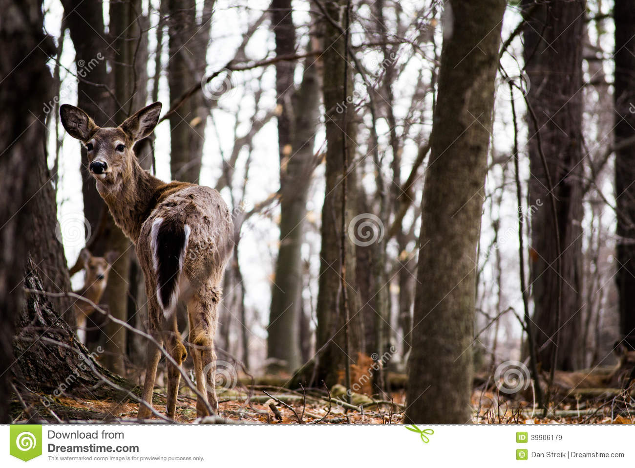 A Young Whitetail Deer Stock Image Image Of Antlers