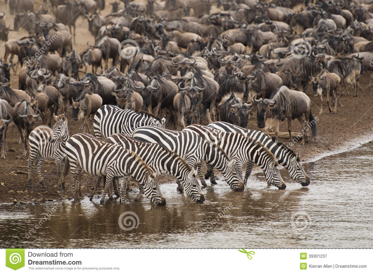 Zebra Drinking Water Along The Mara River Stock Image