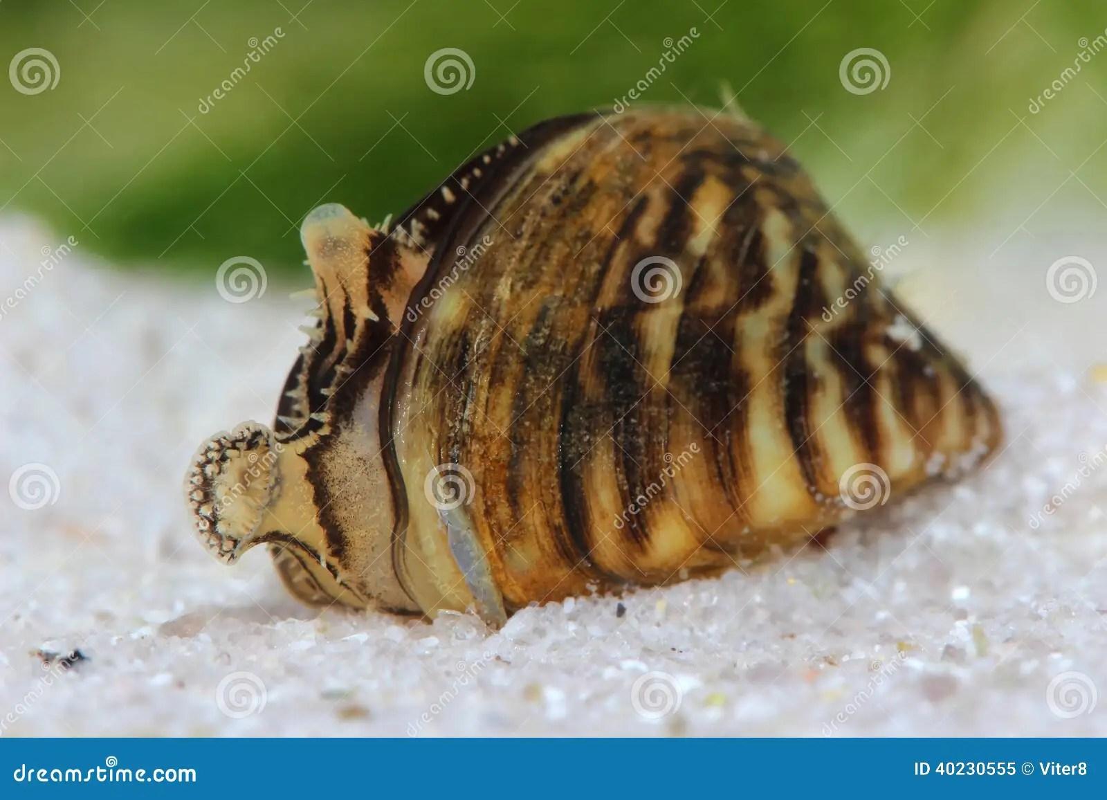 Zebra Mussel Dreissena Polymorpha In Pond Stock Image