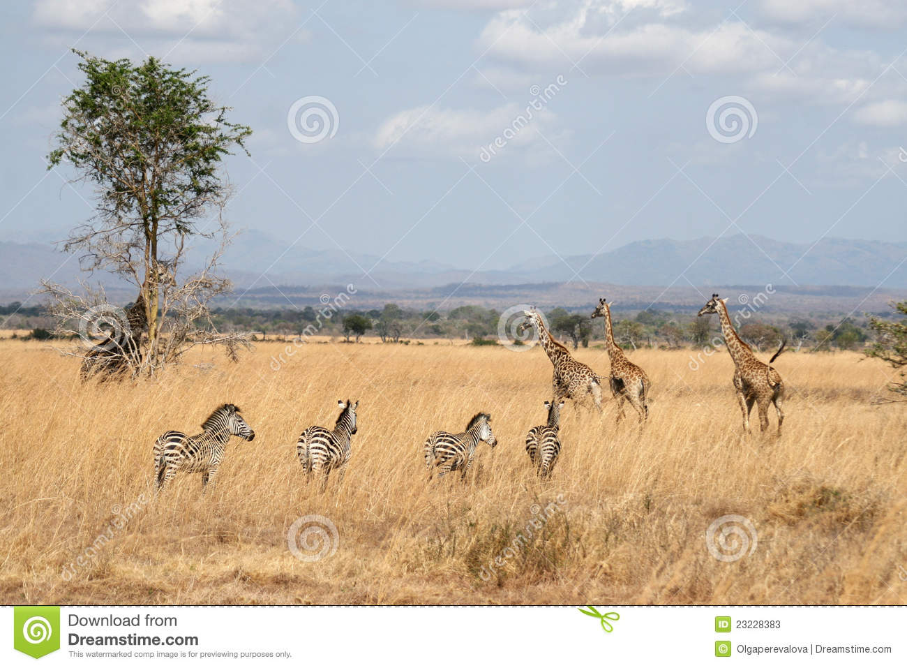 Zebras And Giraffes Stock Image Image Of South White