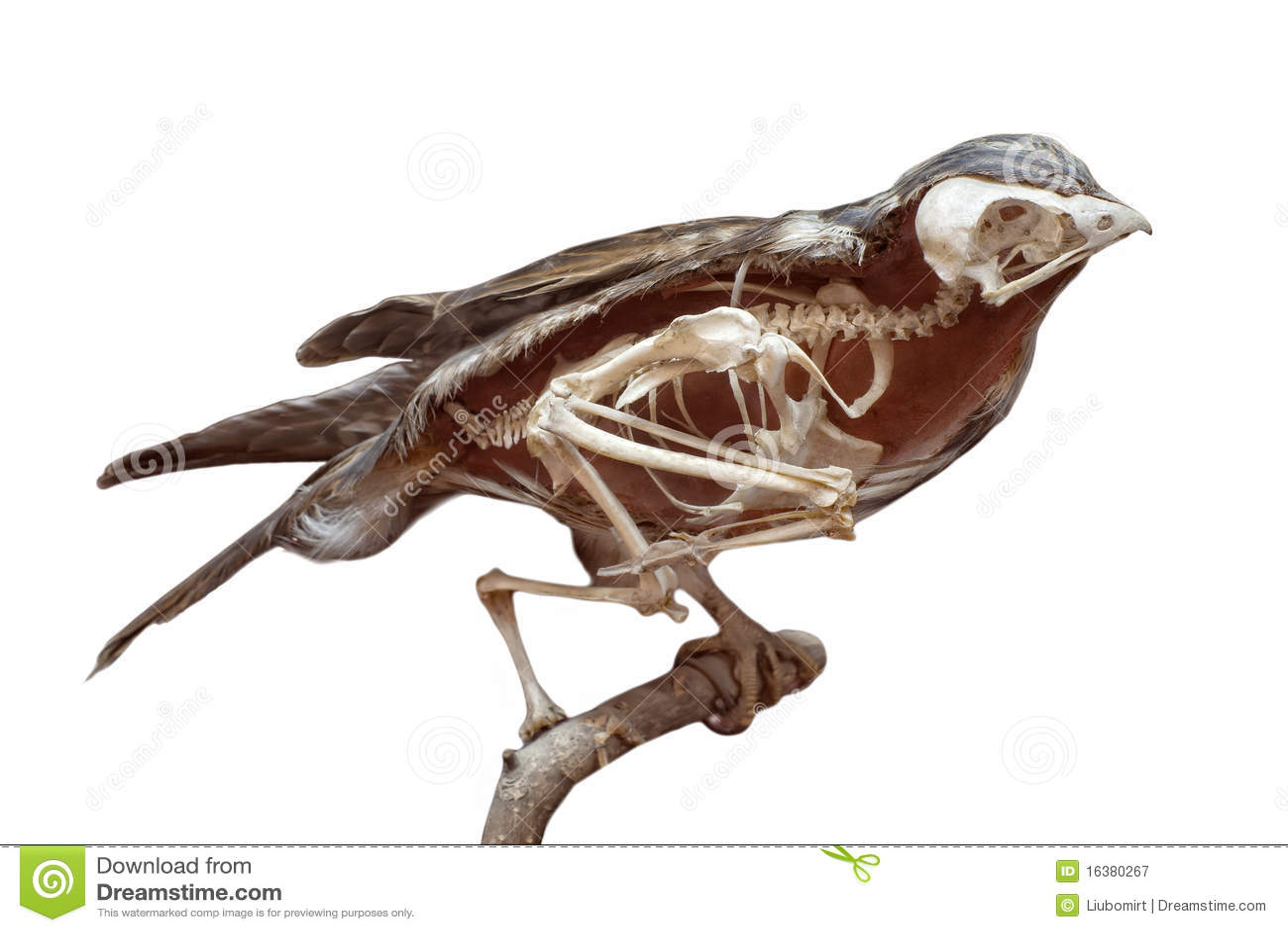 bird bone structure diagram 240v receptacle wiring zergliederter vogel mit dem skelett lizenzfreie