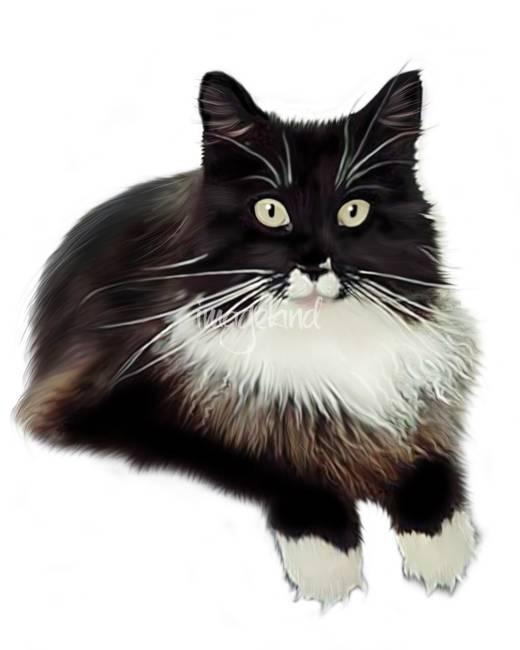 Tuxedo Black And White Maine Coon Cat : tuxedo, black, white, maine, Maine, Tuxedo, Brandi, Jasmine