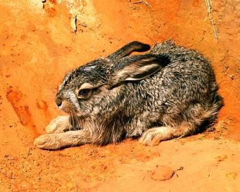 Baby Jack Rabbit by D Schellack