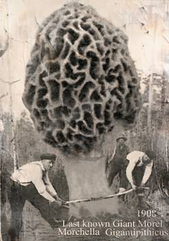 Last Giant Morel Mushroom By Elk Thorn Melrose