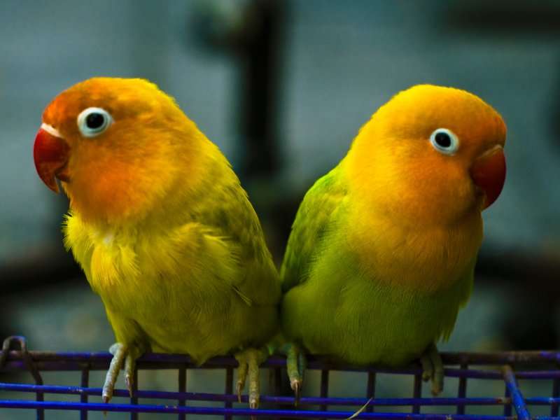 Small Cute Baby Kissing Wallpaper 14 Fun Facts About Lovebirds Science Smithsonian