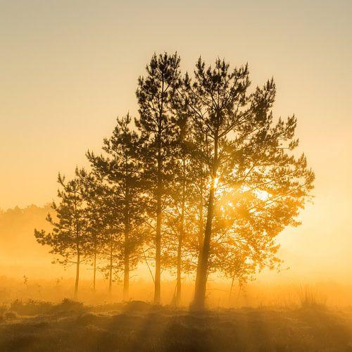 Boom in zonnestralen met zonsopkomst, Utrechtse Heuvelrug, Nederland