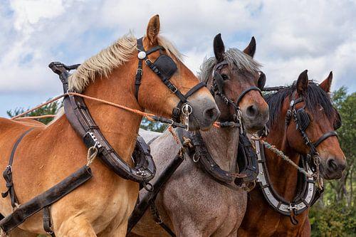 Driespan Trekpaarden hoofden portret