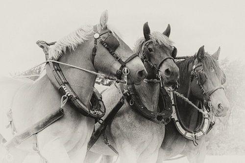 Driespan Trekpaarden portret in sepia