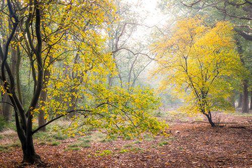 Kleurige krentenboompjes in de herfst, Utrechtse Heuvelrug, Nederland