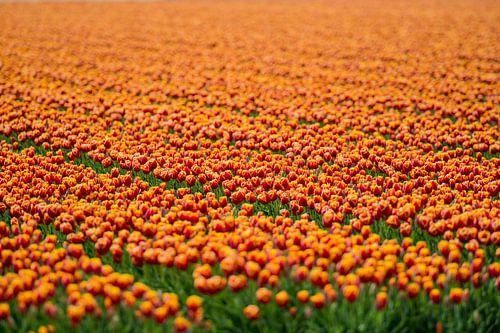 Koninklijke Tulpen