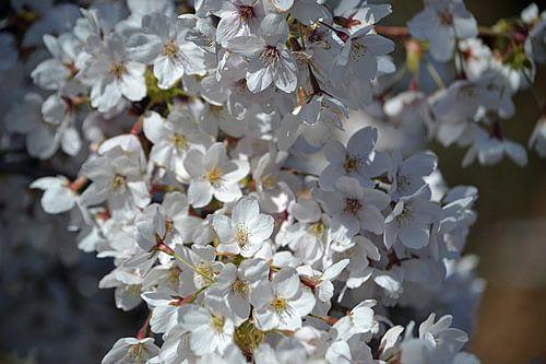 Kersenbloesem in bloei