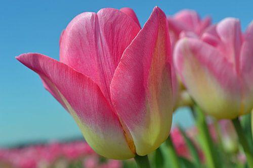 Roze tulpen in de Bollenstreek/Nederland