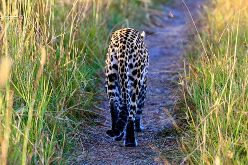 Luipaard op de weg in Botswana