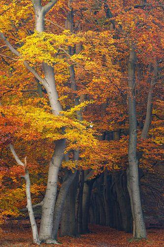 Magische herfstkleuren in het beukenbos, Utrechtse Heuvelrug, Nederland