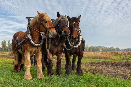Trekpaarden op een akker