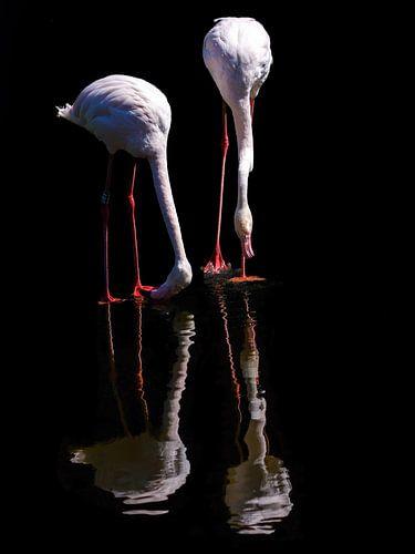 Twee Flamingo's in reflectie