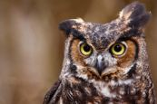Cute Funny Quizzical Great Horned Owl Stock Photos