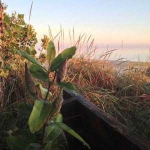 Milkweed-on-beach