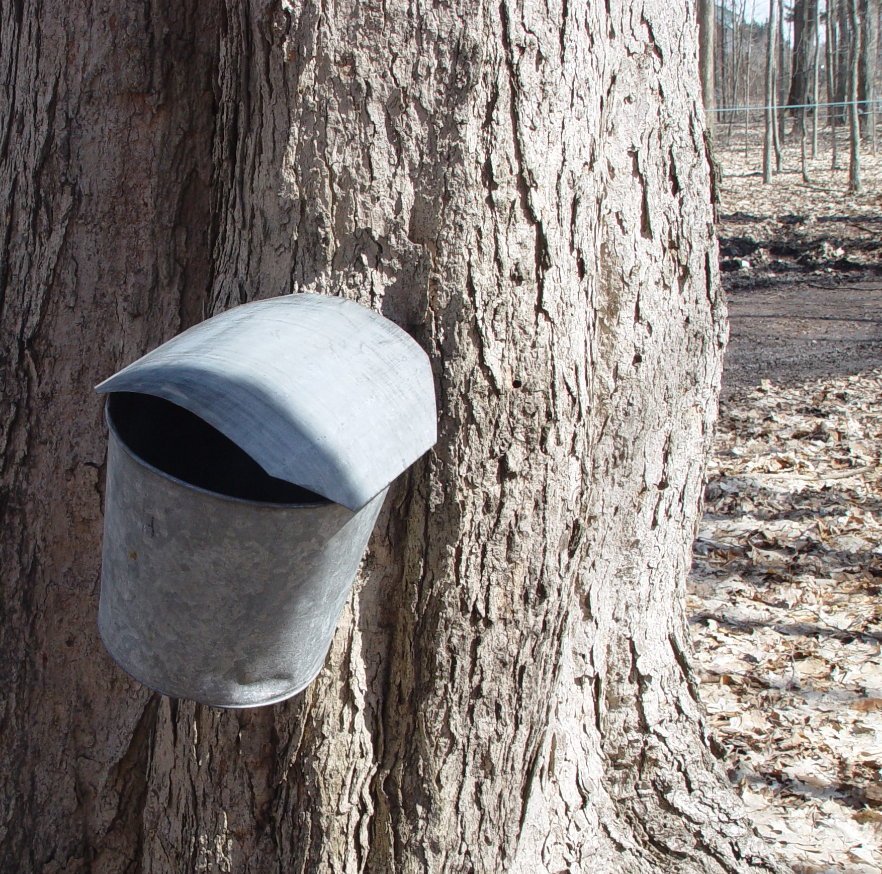 Sugar Maple Tapped into Collection Can