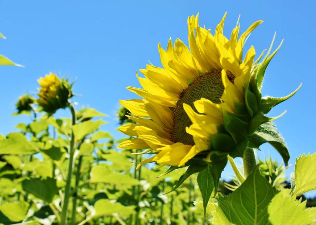 Growth of Michigan's Thumb with Sunflowers