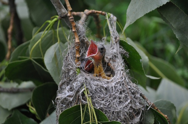 Oriole Nest With Young