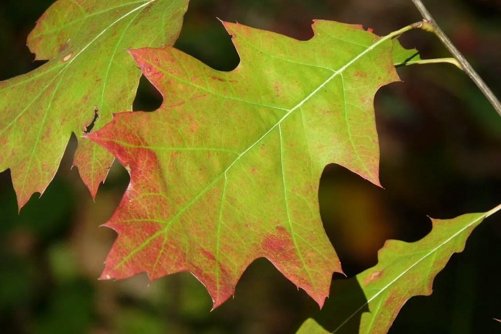 Oak Wilt a Threat to Michigan Thumb's Red Oaks
