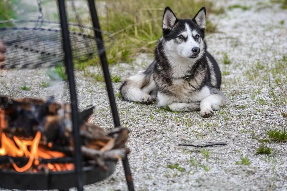 Siberian Husky - Dog Breeds for Camping