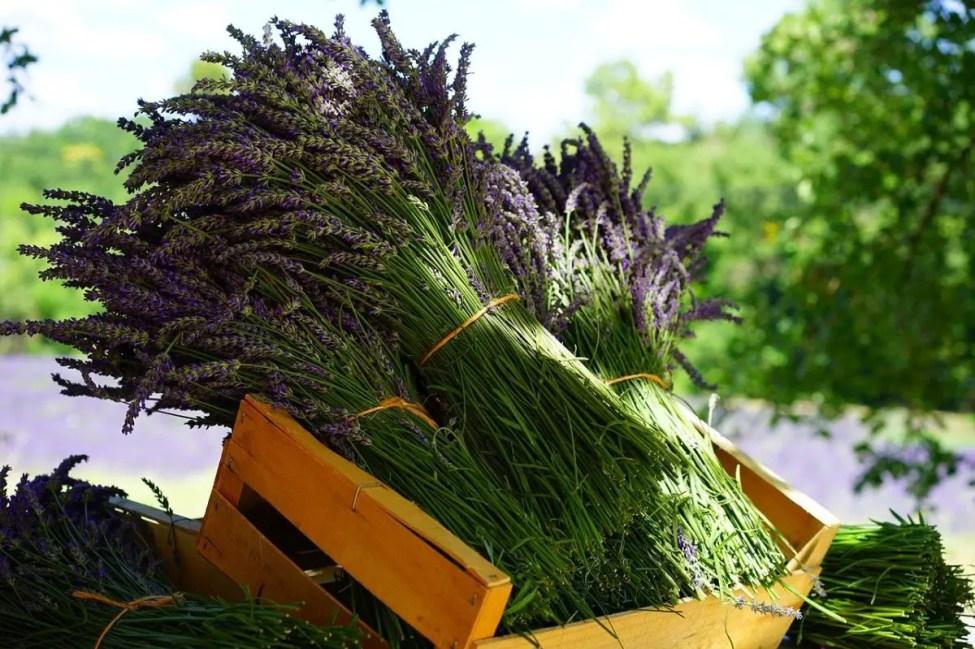 Lavender Tufts