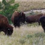 Buffalo roam near Bear Butte