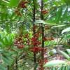 cây mật nhân