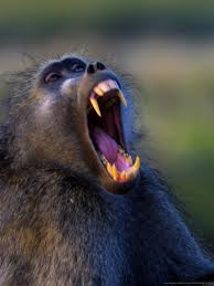 parliament of baboons 33