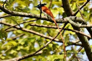 Asian Paradise Flycatcher- Tanamalwiila