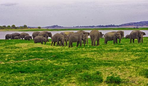 elephant herd at MINNERIYA
