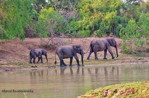 elephants crossing Menik Ganga