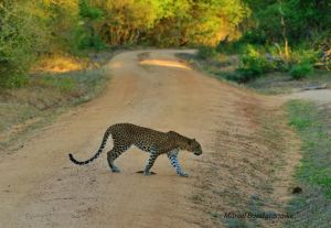 leopard crossingtrack -yala
