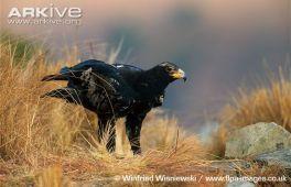 EAGLE --Verreauxs-eagle-on-the-ground