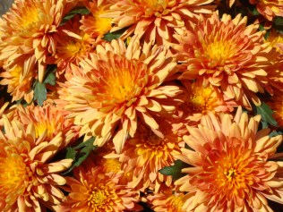 Chrysanthemums - m
