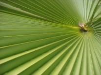 Palm Fan - m