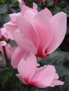 Pink Cyclamen - m