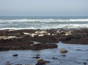 Sea Lions at the Fitzgerald Marine Reserve