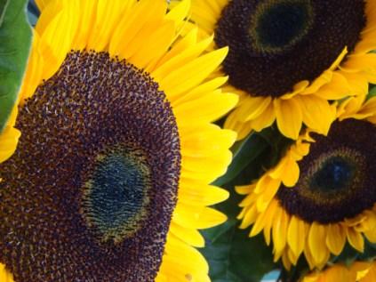 Sunflowers - m