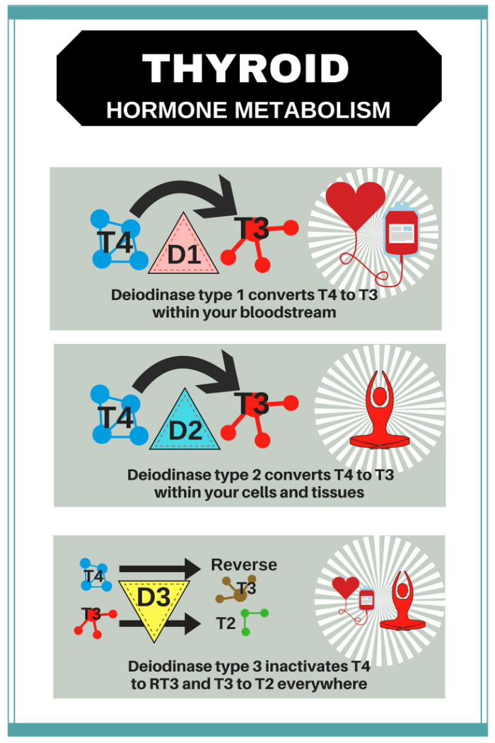 How The Three Deiodinases Regulate T3 Thyroid Patients Canada