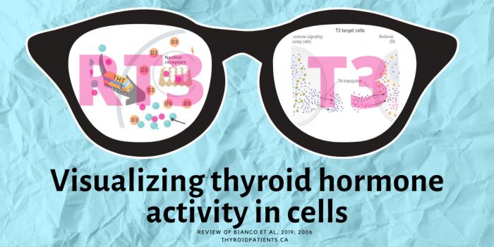 Visualizing-thyroid-hormones-in-cells