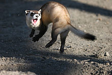 220px-Jumping_black_footed_ferret