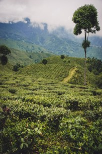 tea plantation in darjeeling