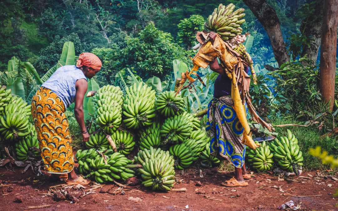 raccolta banane a moshi