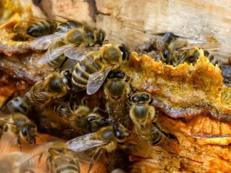 propóleos abejas antibacteria productos tiande 44411 bálsamo
