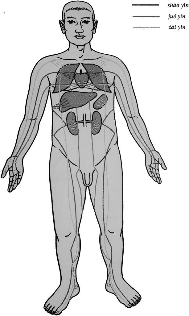 Schémas du trajet des méridiens yin reflète la localisation relative de l'organe qui leur est associé.
