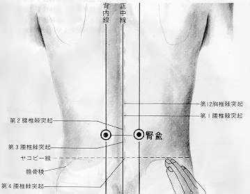 Le point d'assentiment des reins, 腎俞shèn shù, est le treizième point duméridien de la vessie.