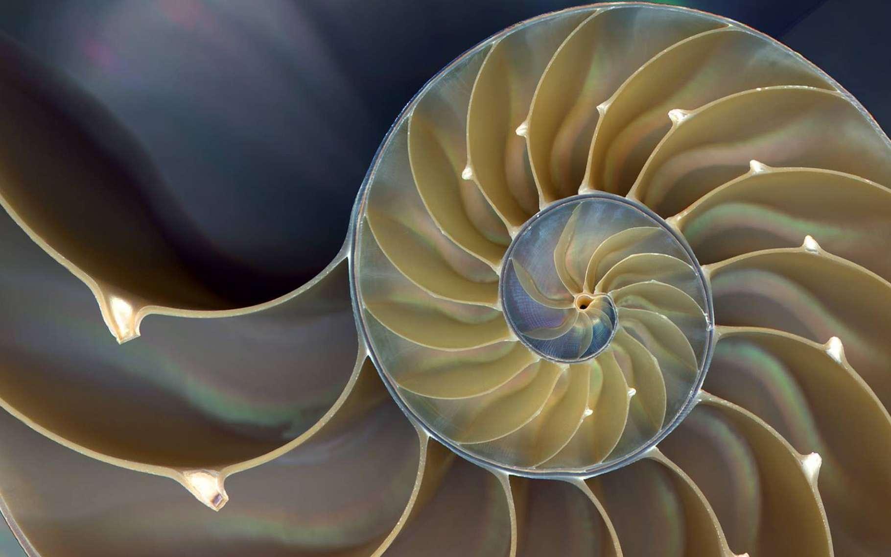 La coquille du nautile dessine une spirale logarithmique